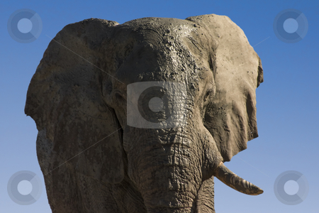 One Tusk stock photo, Very old bull elephant with a tusk missing covered in mud by Darren Pattterson