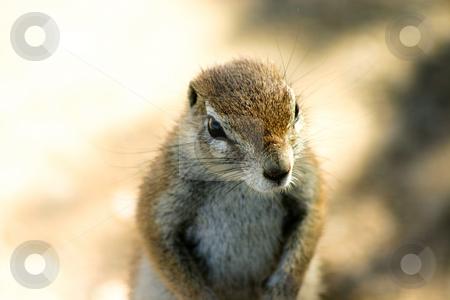 Ground squirrel stock photo, Portrait of a ground squirrel in Etosha National Park Namibia by Darren Pattterson
