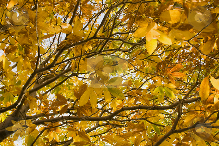 Autmn leaves stock photo, Golden autumn leaves in a tree by Darren Pattterson