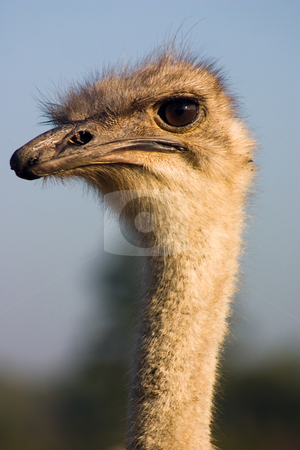Ostrich  stock photo, Close up of an ostrich in a game park in southern africa. Etosha Namibia by Darren Pattterson