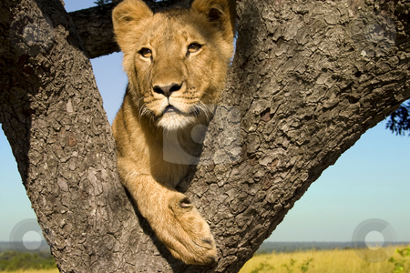 Hanging Out stock photo, Close up of young lion in a tree at the surrounding landscape by Darren Pattterson