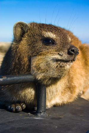 Rock dassie portrait stock photo, Close up shot of a rock dassie on top of Table Mountain, cape Town South Africa by Darren Pattterson