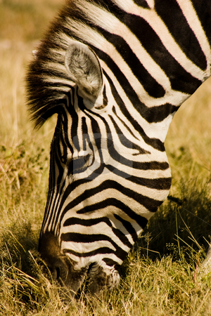 Grazing Zebra  stock photo, Close up of zebra grazing in Etosha National Park, Namibia by Darren Pattterson