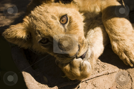 Sucking my thumb stock photo, Close up of a lion cub sucking its paw and looking straight at the camera by Darren Pattterson