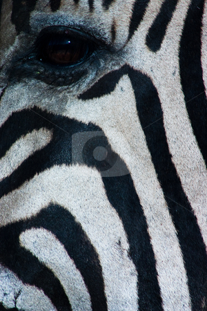 Zebra's eye stock photo, Close up of a zebra's face showing the eye and its black and white stripes by Darren Pattterson