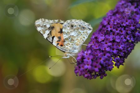 Butterfly stock photo, Butterfly on a flower by Carmen Steiner
