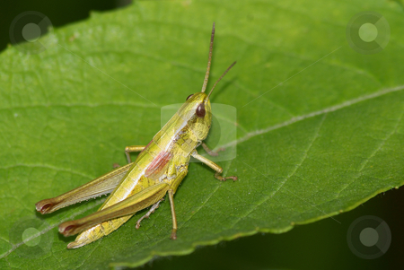 Grasshopper. stock photo, Grasshopper with red eyes sitting on green leaves. by Rados?