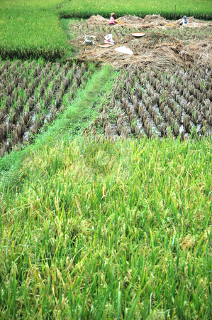 Rice Paddies stock photo, Field of rice paddies in tropical paradise by Bayu Harsa