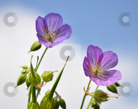 Cranesbill (Geranium) stock photo, Cranesbill (Geranium) by Robert Biedermann