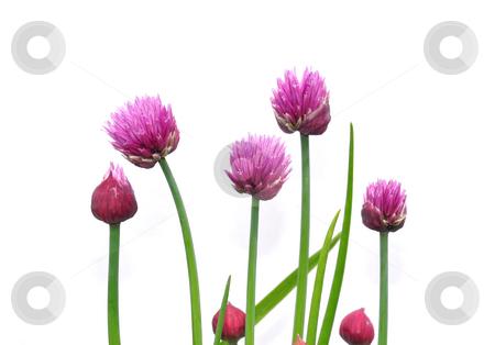 Onion flowers stock photo, Onion flowers by Robert Biedermann