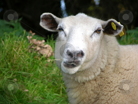 Funny sheep stock photo, Funny sheep by Robert Biedermann