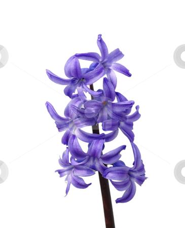 Garden hyacinth stock photo, Garden hyacinth by Robert Biedermann