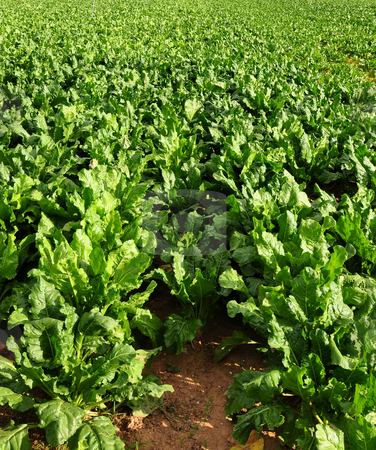 Field with sugar beet stock photo, Field with sugar beet by Robert Biedermann