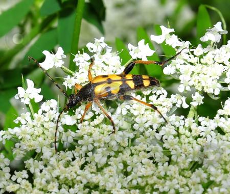 Long horn beetle stock photo, Long horn beetle by Robert Biedermann