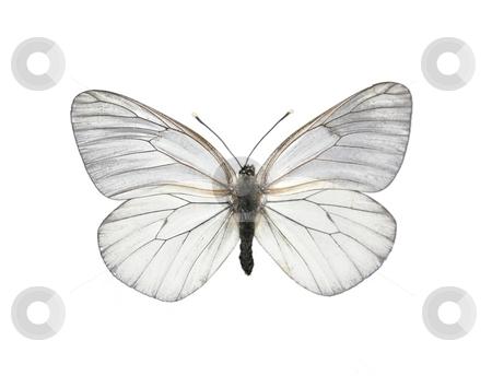 Black-veined White butterfly (Aporia crataegi) stock photo, Black-veined White butterfly (Aporia crataegi) by Robert Biedermann