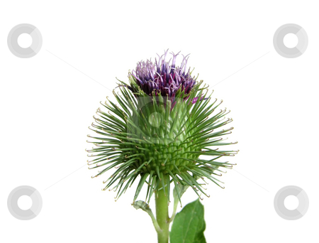 Spiny thistle flower isolated on white background stock photo, Spiny thistle flower isolated on white background by Robert Biedermann