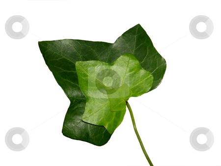 Threefold ivy leaf stock photo, Threefold ivy leaf by Robert Biedermann