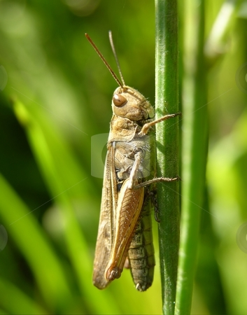 Grasshopper stock photo, Grasshopper by Robert Biedermann