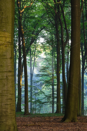 Misty morning stock photo, Misty morning forest in a bright sunlight by Mikhail Lavrenov