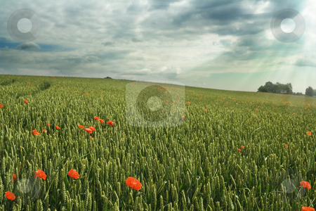 Wheat field stock photo, Wheat field under cloudy sky; red poppies by Mikhail Lavrenov