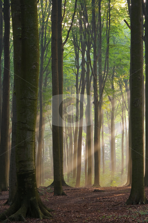 Misty morning stock photo, Sunbeams in a misty morning forest by Mikhail Lavrenov