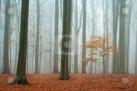 Misty autumn beech forest stock photo, Misty autumn beech forest; ground covered by fallen leaves by Mikhail Lavrenov
