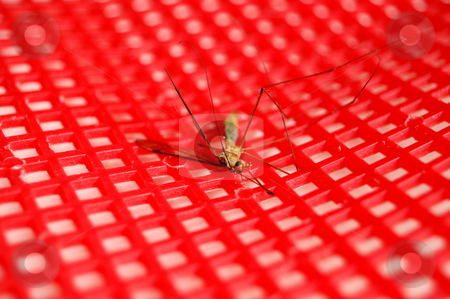Dead mosquito stock photo, Dead mosquito on a read swatter by ALESSANDRO TERMIGNONE