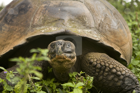 Giant Galapagos Tortoise stock photo, Giant Galapagos Tortoise by Sharron Schiefelbein