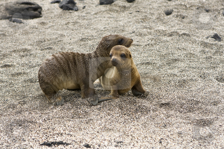 Sea lion pups playing in the shade on the Galapagos Islands stock photo, Sea lion pups playing in the shade on the Galapagos Islands by Sharron Schiefelbein
