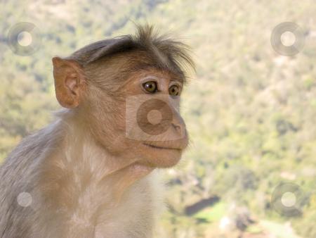 Langur Monkey in Mudhumalai Wildlife Reserve, India stock photo, Langur Monkey in Mudhumalai Wildlife Reserve, India by Sharron Schiefelbein
