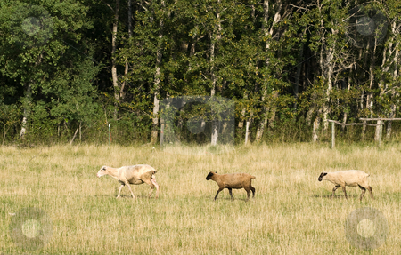 Three Sheep stock photo, Profile view of three sheep walking in the field and following each other by Richard Nelson
