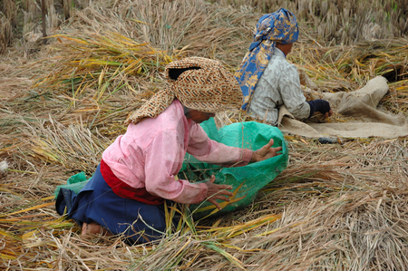Harvesting paddies stock photo, Farmer harvesting paddies in their ricefield by Bayu Harsa