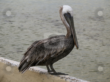 Pelican on Galapagos Islands stock photo, Pelican on Galapagos Islands by Sharron Schiefelbein
