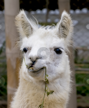 White Llama with a funny look stock photo, White Llama with a funny look by Sharron Schiefelbein