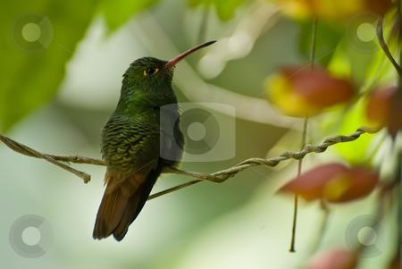 Humming bird sitting on branch stock photo, Humming bird sitting on branch by Sharron Schiefelbein