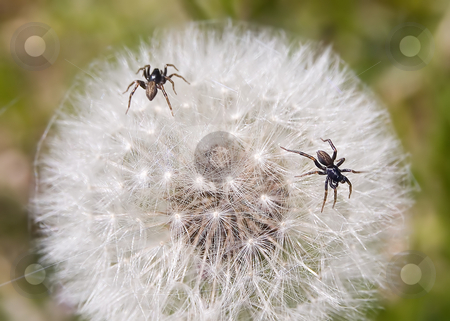Microcosm: Spider Turf War stock photo, Two very tiny spiders wage a