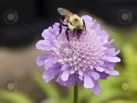 Bubmlebee on a Pincushion Scabiosa Flower stock photo, A bumblebee stops at a pastel purple pincushion Flower (Scabiosa, a perennial) to collect nectar for the hive. by Kenneth Keifer