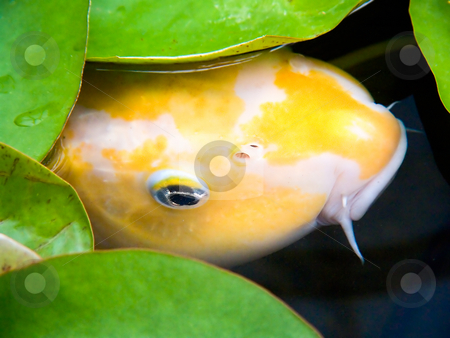 Coy Koi Peeks Out from Lily Pads stock photo, A bashful and cautious large yellow and white ornamental koi timidly peeks out from under lily pads of a pond. by Kenneth Keifer