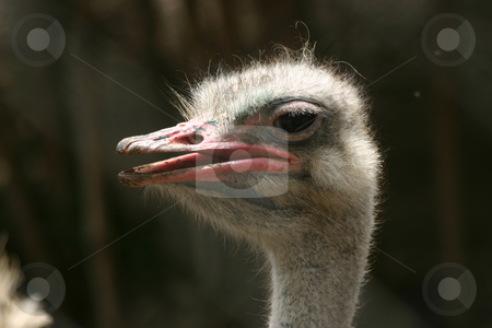 Ostrich stock photo, Side profile of a sunlit ostrich's head, sort of isolated against a dark out-of-focus background. by Darren Booth