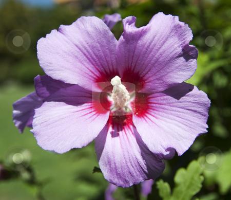 Purple flower stock photo, Closeup of a red flower by Fabio Alcini