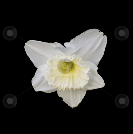 Flower stock photo, Closeup of a flower in black background by Fabio Alcini