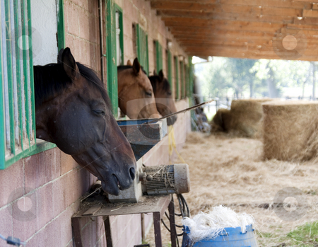 Horses stock photo, Portrait of a sleeping horse and other two horses by Fabio Alcini
