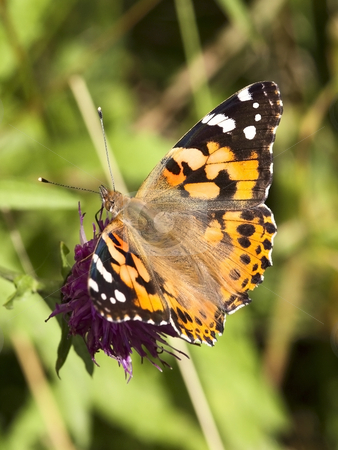 Painted lady butterfly stock photo, A painted lady butterfly cynthia cardui on a thistle flower in summer by Mike Smith