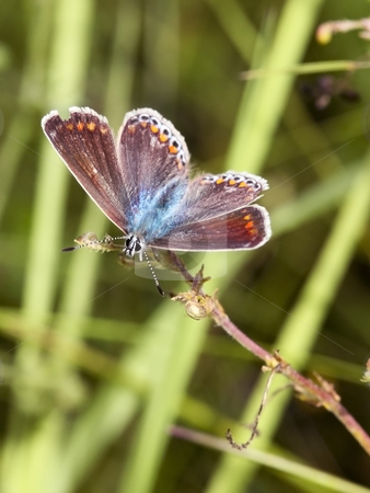 A female common blue butterfly  stock photo, A female common blue butterfly polymmatus icarus in summer by Mike Smith