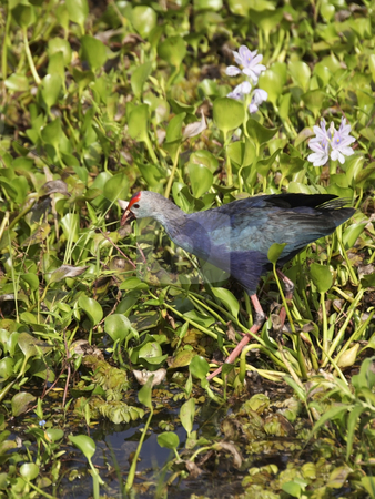 Purple swamphen stock photo, A puple swamphen porphyria porphyria in wasgomuwa national park sri lanka by Mike Smith