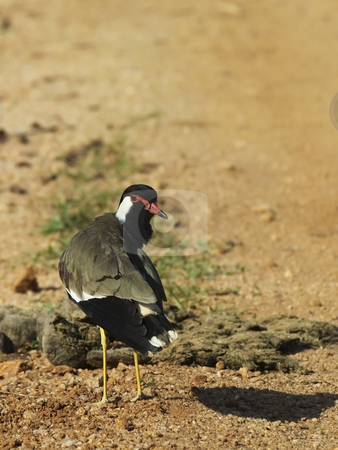 Red wattled lapwing stock photo, Red wattled lapwing in sri lanka by Mike Smith