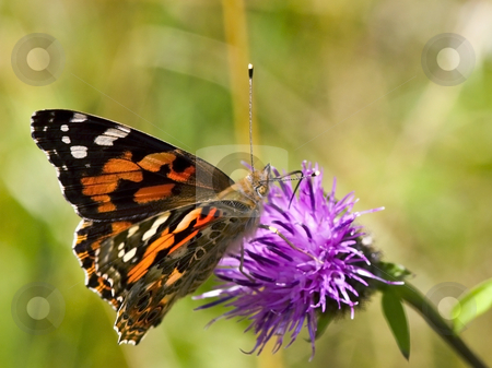 Painted lady butterfly on flower stock photo, A painted lady butterfly cynthia cardui on a knapweed flower in summer by Mike Smith