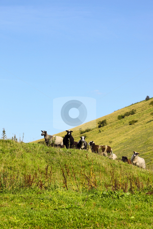 Sheep on hillside stock photo, A flock of sheep on a hillside in summer by Mike Smith