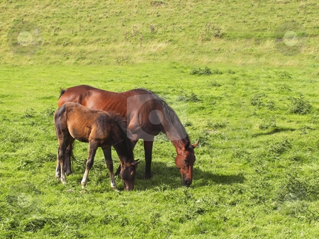 Mare and foal stock photo, A mare and foal in a summer meadow by Mike Smith