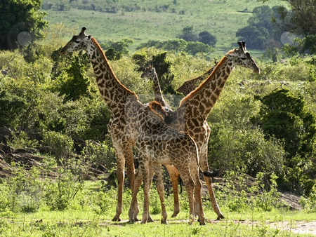 Masai giraffes in kenya stock photo, A group of masai giraffes in tsavo national park kenya by Mike Smith